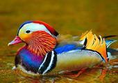 Canard multicolor