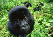 Puzzle Bébé gorille