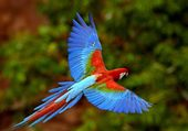 Perroquet en vol