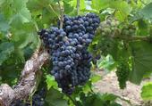 Puzzle cep de vigne