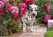 Chiot et roses