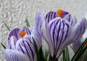 Fleurs de crocus 1