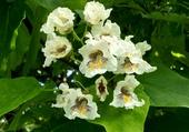 Fleurs de catalpa 1