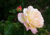 Rose rosée