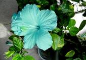 Ibiscus bleu ciel 1