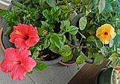 Ibiscus jaune et rouge 1