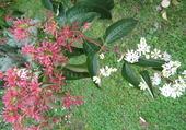 fleurs d'heptacodium myconoides