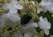 cétoine sur hortensia