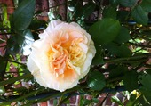 Rose ancienne abricot