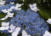 fleur de Luarca