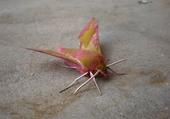papillon guyannais