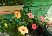 Hibiscus jaunes et rose1