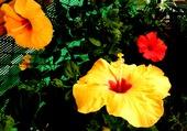 Hibiscus jaunes et rouge1