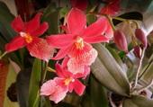 Orchidée rouge 2