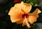 Hibiscus jaune 4