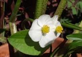 fleur de sagittaire