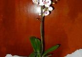 pot orchidées blanche tachetée1