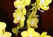 Orchidées jaunes 2