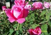 Mes belles roses