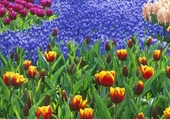 Puzzle Champs de Tulipes