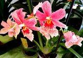 Orchidées à longues feuilles