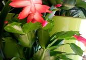Un pot de cactées rouges