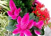 Plante grasse à pompons rouges 1