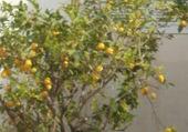 citron majorque