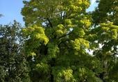 Acacia centenaire.