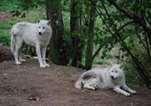 Loups en Lozère