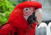 Puzzle tête de perroquet rouge