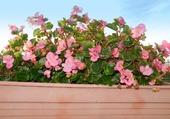 Bégonias roses balcon 1