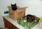 chats en cartons