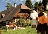 Emmental ferme et animaux