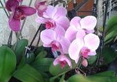 mes orchidées refleurissent
