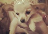 Baby chihuahua