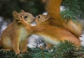 écureuils amoureux