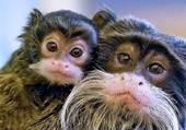 Portraits de singes japonais