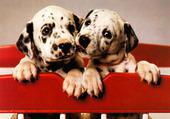 Mes chiots dalmatien