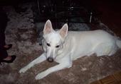 fidji chien suisse