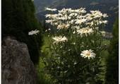Les marguerites du Tyrol