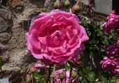 Rose elle a vécu ce que vivent les roses