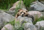 Dure dure la vie d'ours !