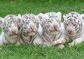 tigres blancs bébés