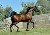 cheval Pur-Sang Arabe