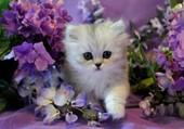 Chaton persan au milieu des fleurs