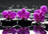 Orchidées sur galets 1