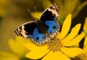 Papillon bleu sur fleur jaune