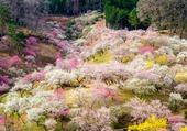Un tapis de cerisiers