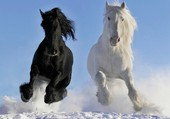 Cheval noir et cheval blanc